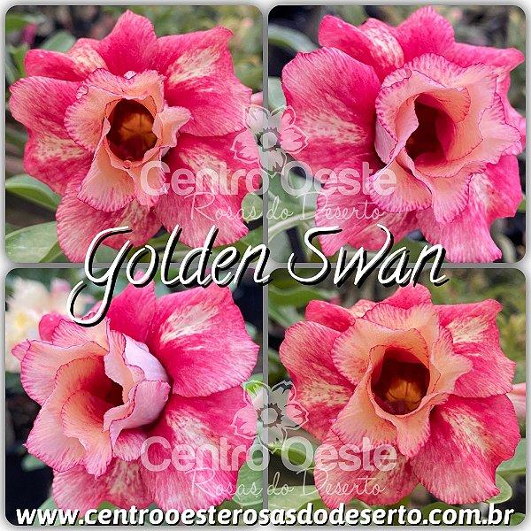 Rosa do Deserto Muda de Enxerto - Golden Swan - Flor Dobrada