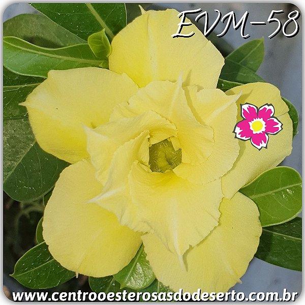 Rosa do Deserto Muda de Enxerto - EVM-058 - Flor Dobrada