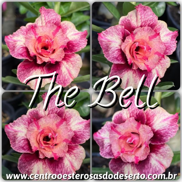 Rosa do Deserto Muda de Enxerto - The Bell - Flor Dobrada