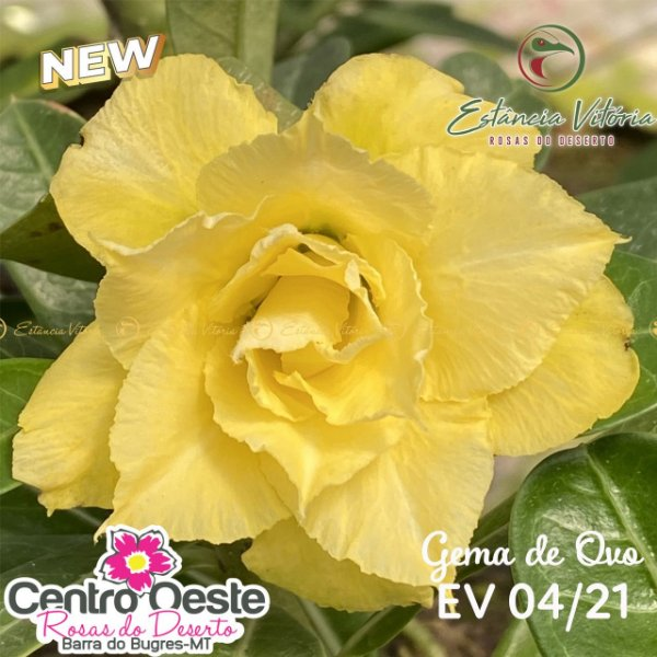 Rosa do Deserto Enxerto - EV-004 Gema de Ovo