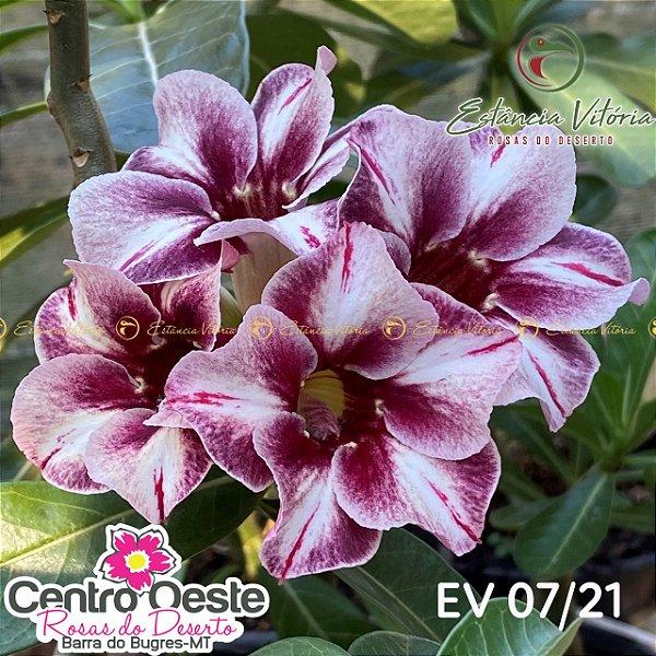 Rosa do Deserto Enxerto - EV-007