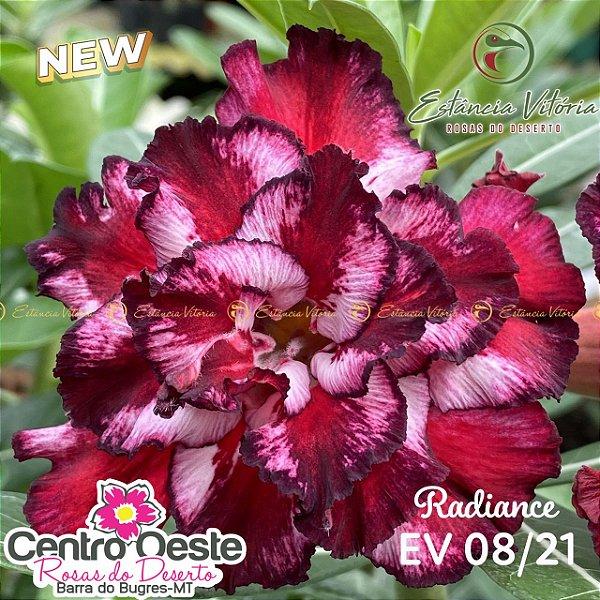 Rosa do Deserto Enxerto - EV-008 Radiance