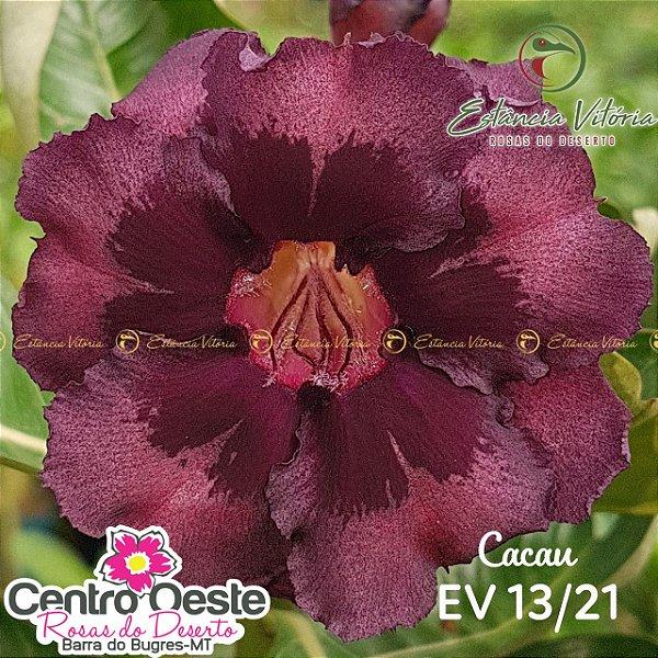 Rosa do Deserto Enxerto - EV-013 Cacau
