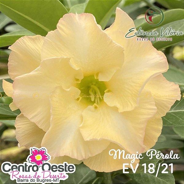 Rosa do Deserto Enxerto - EV-018 Magic Pérola