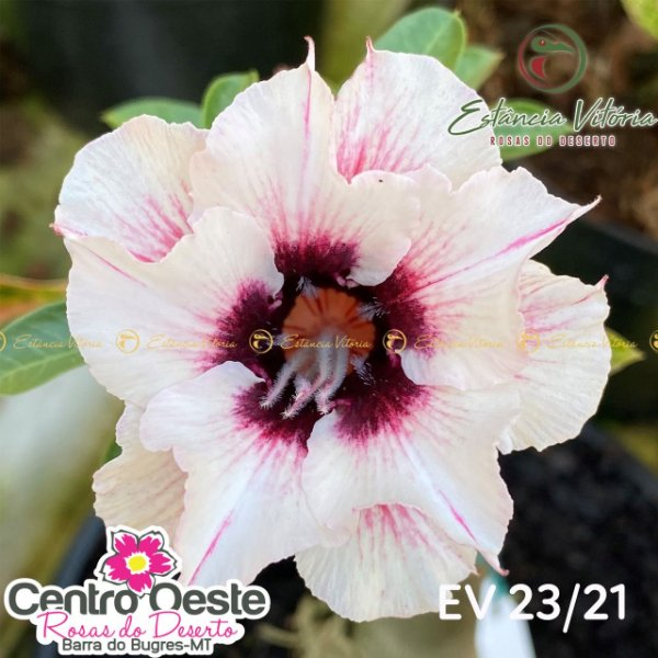 Rosa do Deserto Enxerto - EV-023