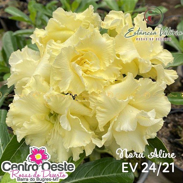 Rosa do Deserto Enxerto - EV-024 Nora Aline