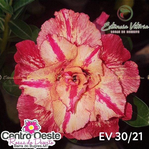 Rosa do Deserto Enxerto EV-030