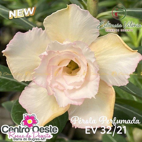 Rosa do Deserto Enxerto EV-032 Pérola Perfumada