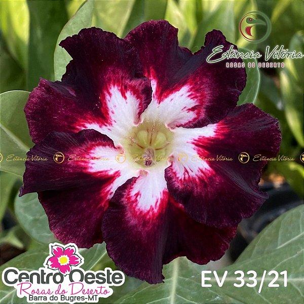 Rosa do Deserto Enxerto EV-033