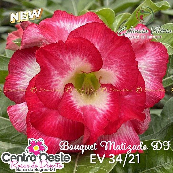 Rosa do Deserto Enxerto EV-034 Bouquet Matizado DF