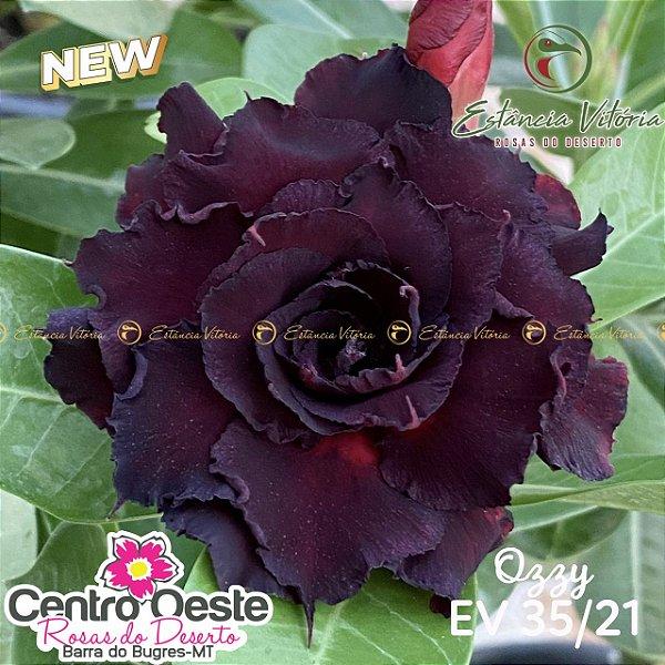 Rosa do Deserto Enxerto EV-035 Ozzy