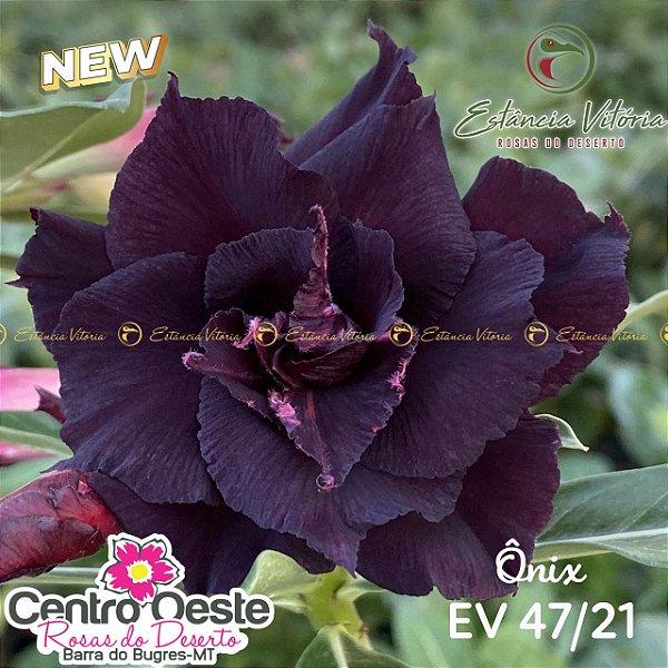 Rosa do Deserto Enxerto EV-047 Ônix