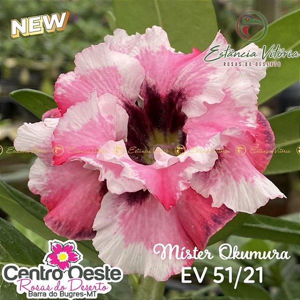 Rosa do Deserto Enxerto EV-051 Mister Okumura