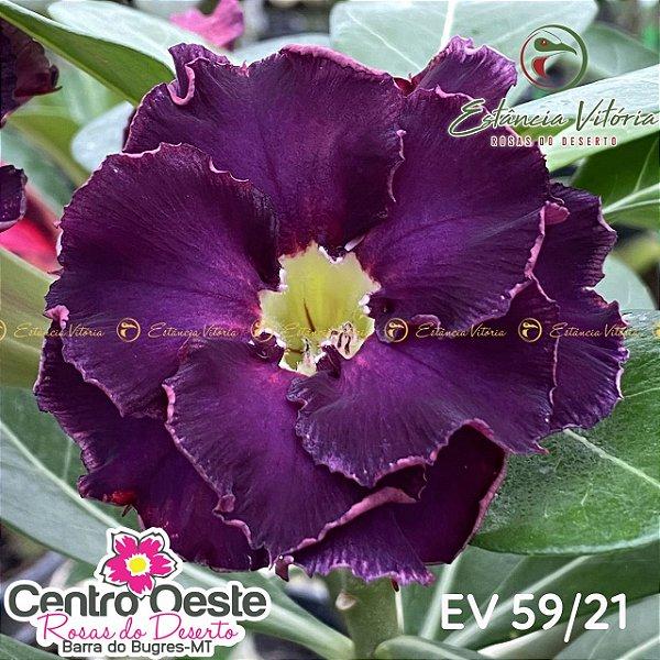Rosa do Deserto Enxerto EV-059