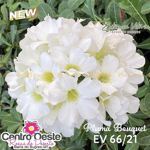 Rosa do Deserto Enxerto EV-066 Pluma Bouquet