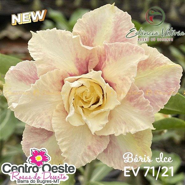 Rosa do Deserto Enxerto EV-071 Bóris Ice