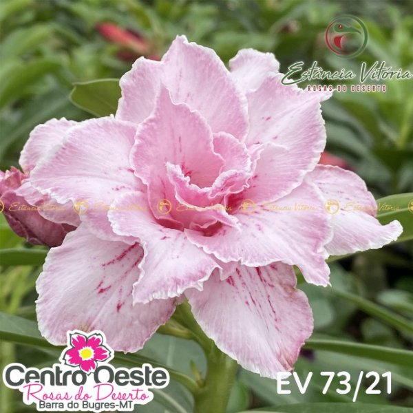Rosa do Deserto Enxerto EV-073