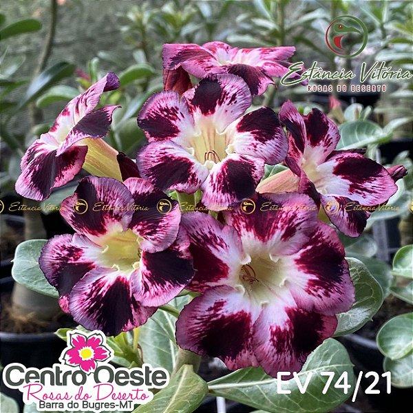 Rosa do Deserto Enxerto EV-074