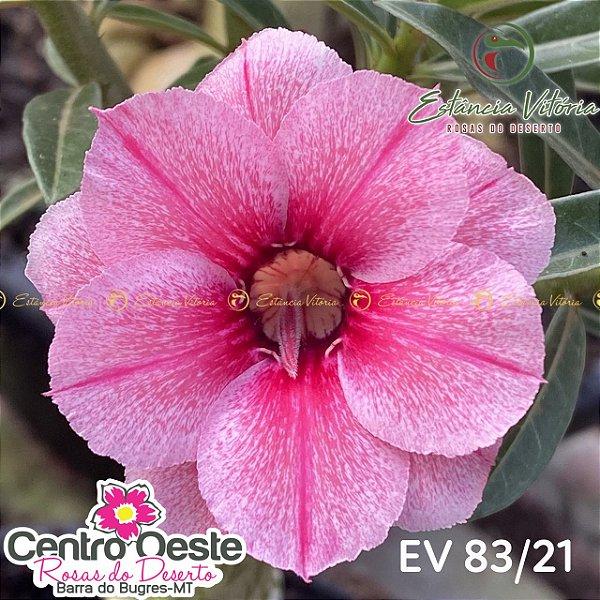 Rosa do Deserto Enxerto EV-083