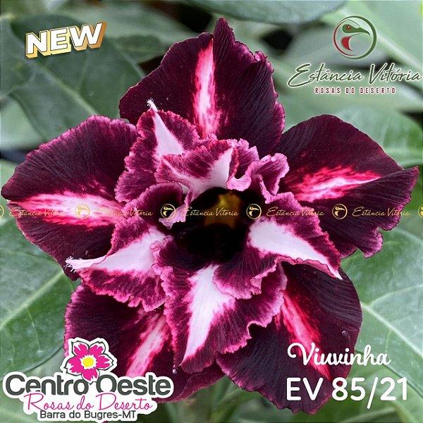 Rosa do Deserto Enxerto EV-085 Viuvinha