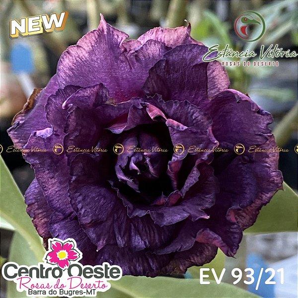 Rosa do Deserto Enxerto EV-093