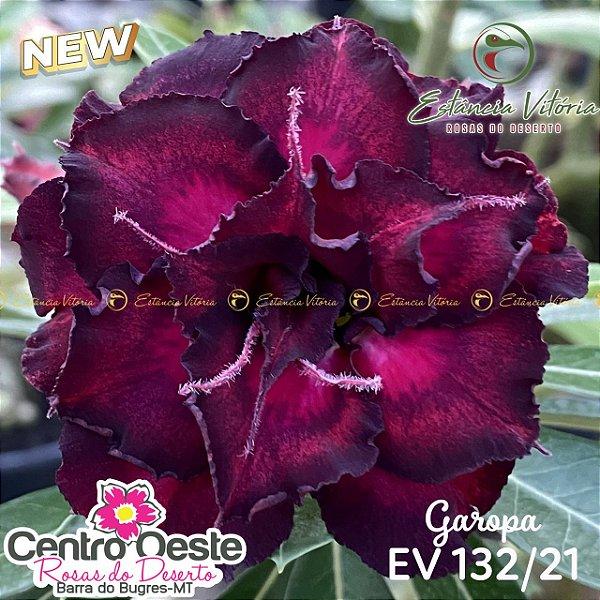 Rosa do Deserto Enxerto EV-132 Garopa