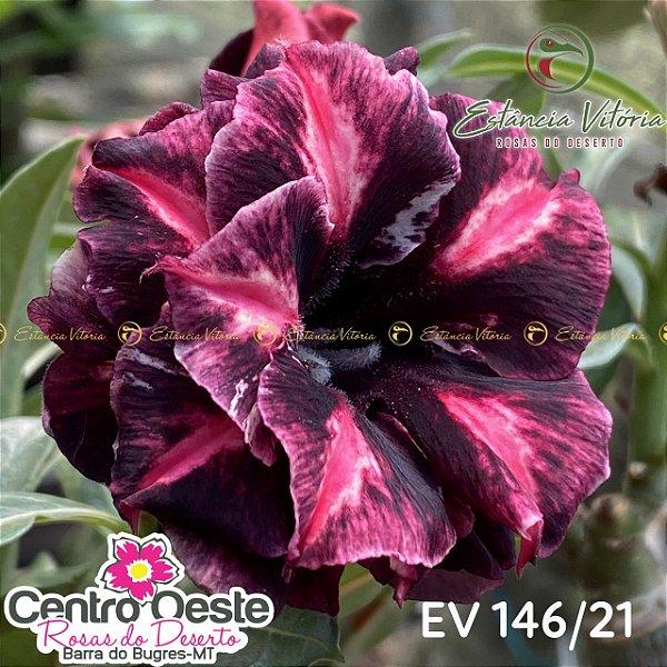 Rosa do Deserto Enxerto EV-146