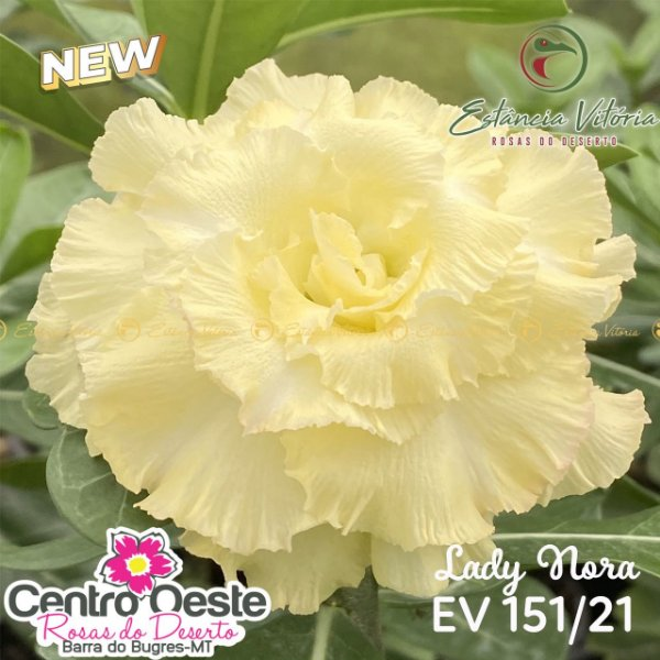 Rosa do Deserto Enxerto EV-151 Lady Nora