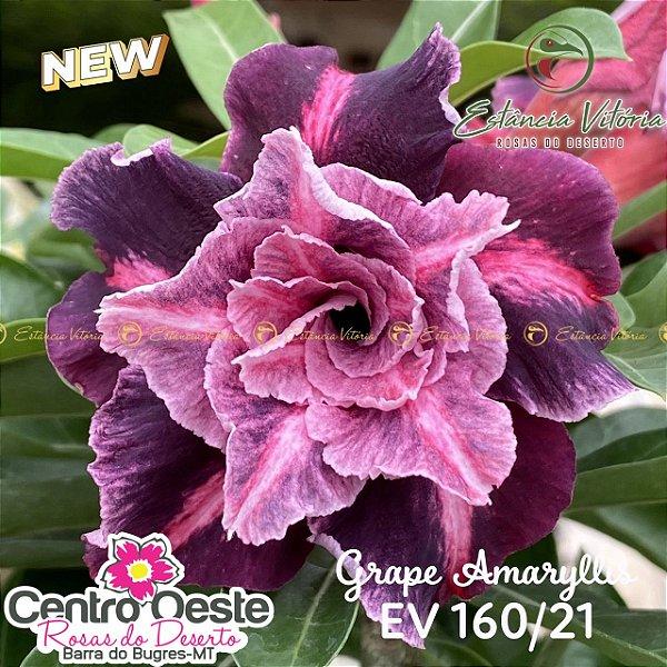 Rosa do Deserto Enxerto EV-160 Grape Amaryllis