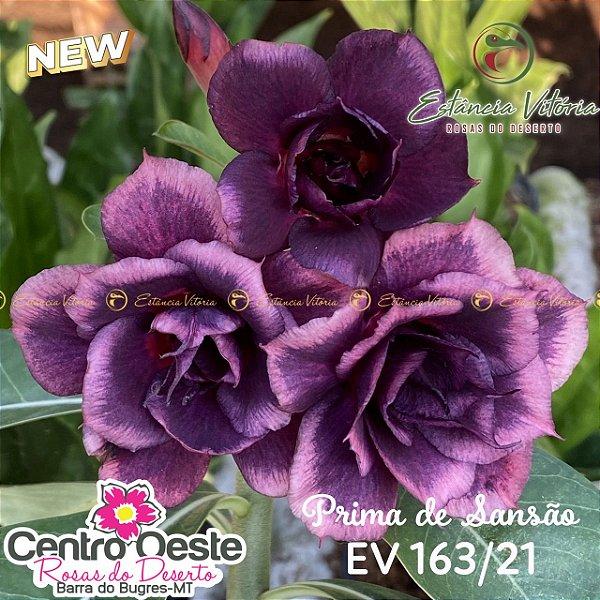 Rosa do Deserto Enxerto EV-163 Prima de Sansão