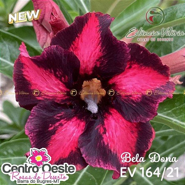 Rosa do Deserto Enxerto EV-164 Bela Dona