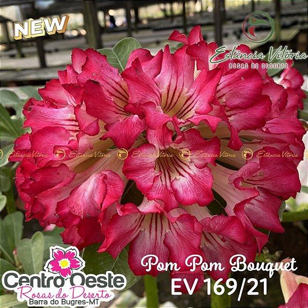 Rosa do Deserto Enxerto EV-169 Pom Pom Bouquet