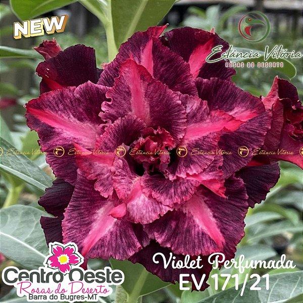 Rosa do Deserto Enxerto EV-171 Violet Perfumada