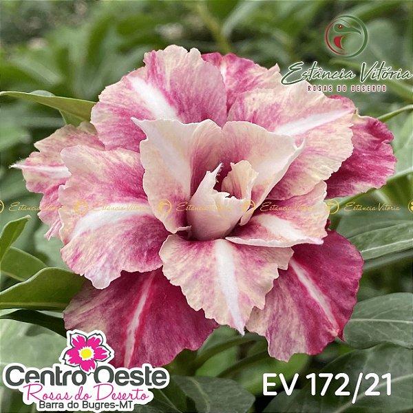 Rosa do Deserto Enxerto EV-172