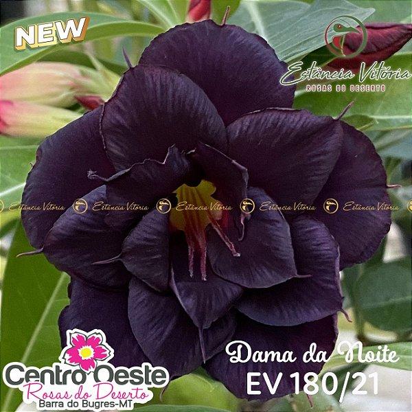 Rosa do Deserto Enxerto EV-180 Dama da Noite