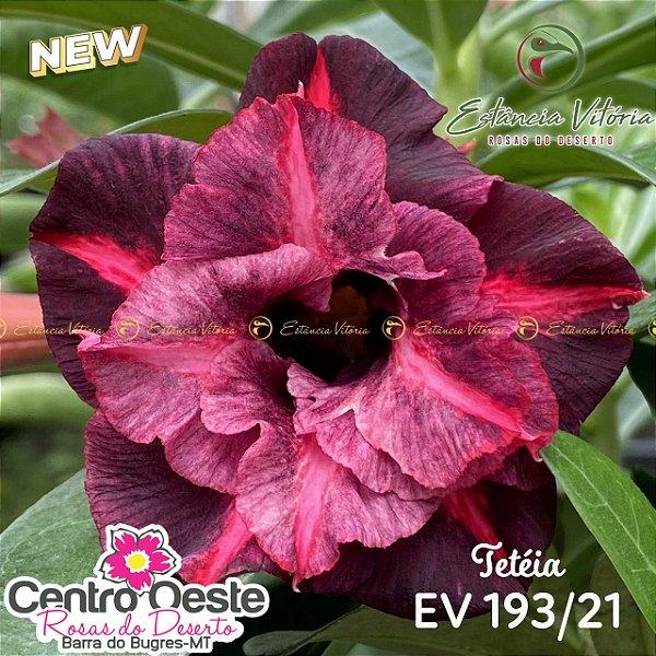 Rosa do Deserto Enxerto EV-193 Tetéia