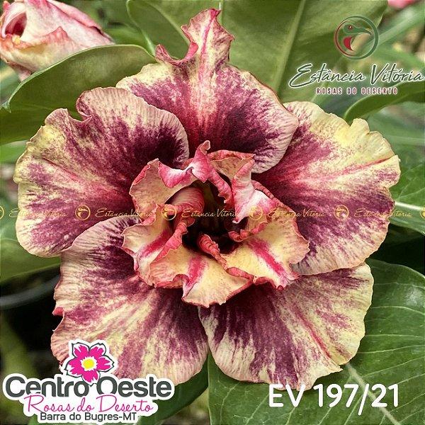 Rosa do Deserto Enxerto EV-197