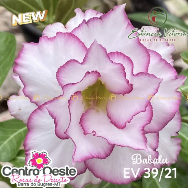 Rosa do Deserto Enxerto EV-039 Babalu