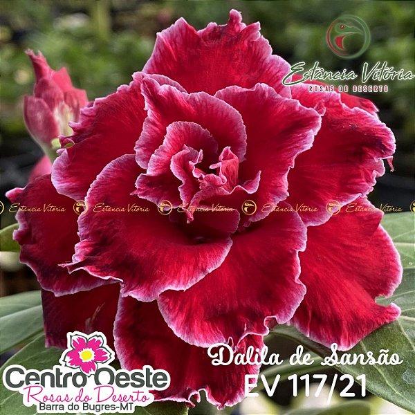 Rosa do Deserto Enxerto EV-117 Dalila de Sansão
