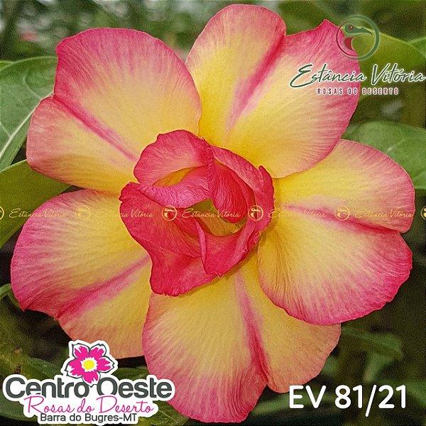 Rosa do Deserto Enxerto EV-081