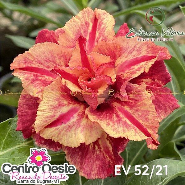 Rosa do Deserto Enxerto EV-052