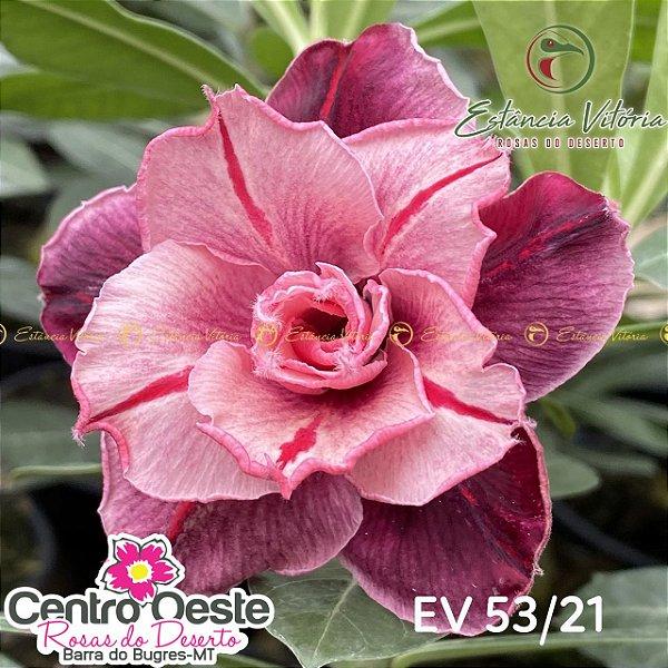 Rosa do Deserto Enxerto EV-053