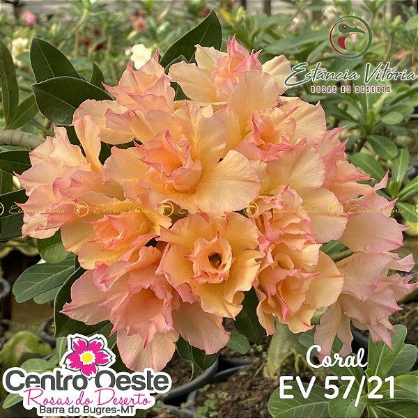 Rosa do Deserto Enxerto EV-057 Coral