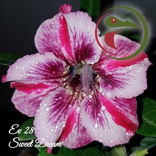 Rosa do Deserto Muda de Enxerto - EV-028 Sweet Dream