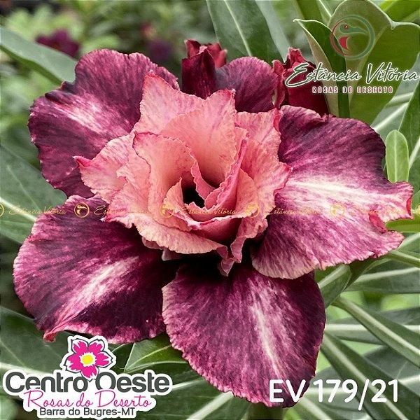 Rosa do Deserto Enxerto EV-179