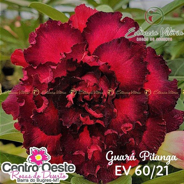 Rosa do Deserto Enxerto - EV-060 Guará Pitanga
