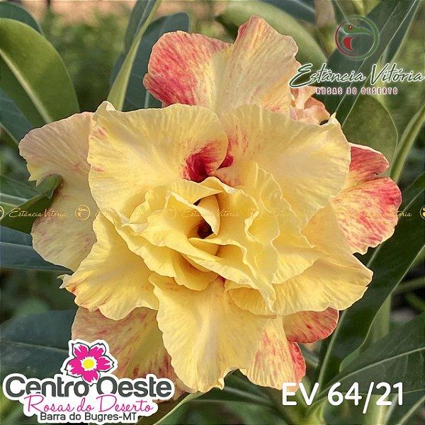 Rosa do Deserto Enxerto - EV-064
