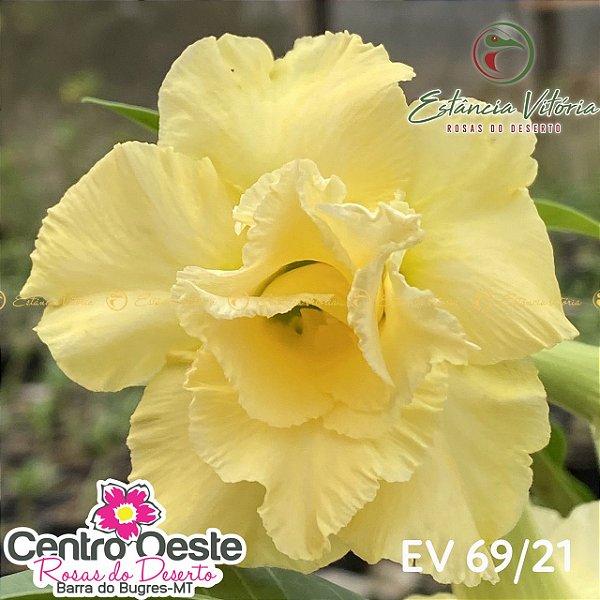 Rosa do Deserto Enxerto - EV-069