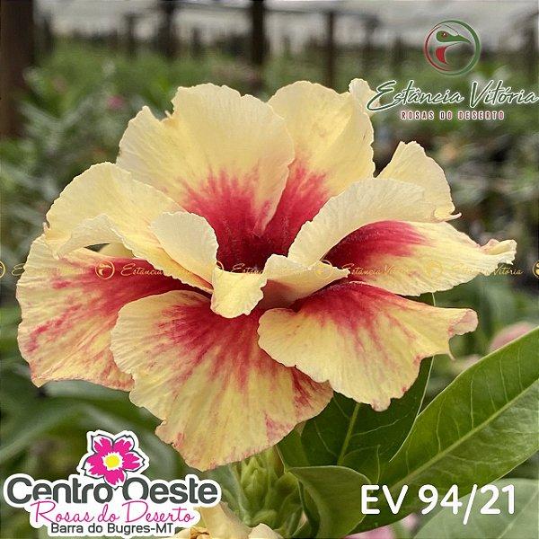 Rosa do Deserto Enxerto - EV-094