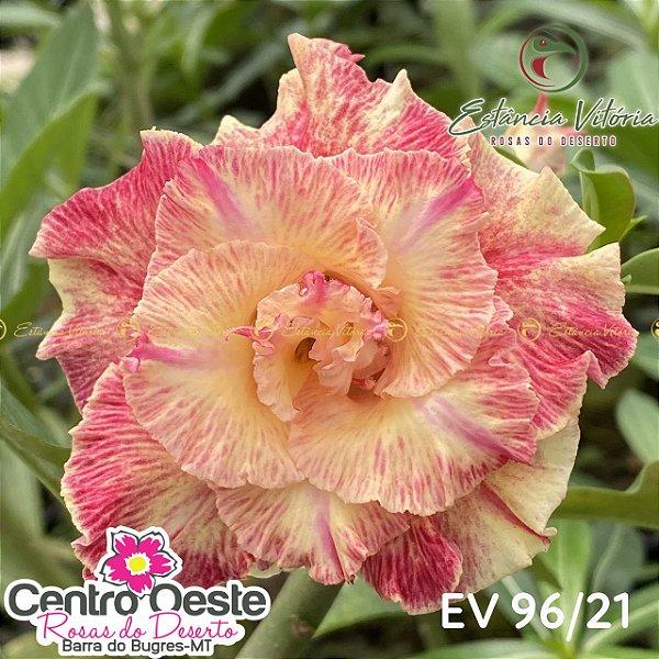 Rosa do Deserto Enxerto - EV-096